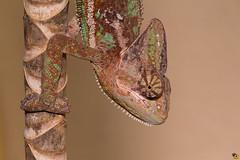 My name is Rango (Rinaldo R) Tags: macro male closeup young sauro reptilia rettile rango sauria chamaeleonidae chamaeleocalyptratus tamron180mm canon6d yongnuo600exrt camaleontevelato