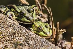 Duo Quak (Rolf Piepenbring) Tags: frog frogs frosch greenfrog frsche teichfrosch