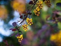 Golden pearls of spring (Brînzei) Tags: flowers leaves spring bokeh manualfocus canonfd ★ bucurești muncii panasoniclumixdmcg1 magatti kiron28mmf2mc kironprecision