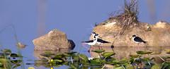 Black-necked Stilt 980x400 20160412 (Kenneth Cole Schneider) Tags: florida header miramar westbrowardwca