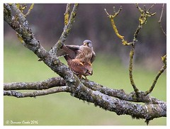 DS0D3565-Copulating-Kestrels (duncancooke.happydayz) Tags: uk bird nature birds native wildlife raptor british raptors kestrel copulation copulating kestrels distinguishedbirds birdperfect naturesgreenpeace