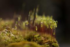 Standing alone (KevPBur) Tags: macro closeup moss dof sigma30mmf14exdchsm hoyacloseup4 bryumcapillare canon650d capillarythreadmoss canonrebelt4i canonkissx6i