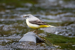 Another grey wagtail (Shane Jones) Tags: bird river nikon feeding wagtail tc14eii greywagtail 200400vr d7200