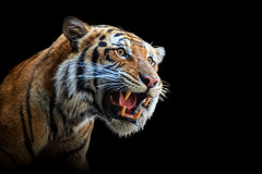 Fearsome Smile (Just BS) Tags: portrait nature animal blackbackground cat photoshop canon mouth mammal zoo feline wildlife teeth tiger bigcat tigris buschgardens carnivore aza bengaltiger zoosofthesouth itsazoooutthere zoosofnorthamerica