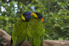Lorikeets (gary1614) Tags: birds lorikeets