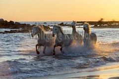 40081139 (wolfgangkaehler) Tags: sunset horse white france beach water french europe mediterranean european running backlit splash herd mediterraneansea backlighting eveninglight camargue southernfrance splashing galloping 2016 whitehorses camarguehorses