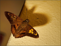Pyrginae (Nightgoose) Tags: butterfly borboleta hesperiidae pyrginae canonef100mmf28lmacroisusm exposurex speedlite600ex canoneost5i captureone9