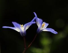 Snow Queen (Xtraphoto) Tags: blue white flower spring blau blume blte frhling snowqueen weis frhlingsblume schneestolz