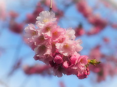 Spring has Sprung (Jens Haggren) Tags: light sky colours sweden stockholm olympus cherryblossom sakura em1 kungsträdgården japanesecherry