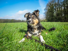 Lisca playing ... :-) (K r y s) Tags: dog pet nature spring outdoor posing ready bordercollie extrieur patrol attentive chiot alert jeu 2016 lisca basenautique