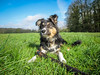 Lisca playing ... :-) (K r y s) Tags: dog pet nature spring outdoor posing ready bordercollie extérieur patrol attentive chiot alert jeu 2016 lisca basenautique