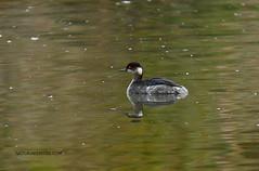 Zampulln cuellinegro (Naturarem700) Tags: bird aves pjaros photograpy acuticas podicipedidae podicipediformes zampullncuellinegro charcasuarez