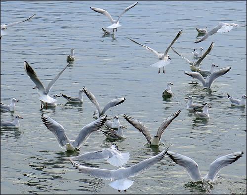 Seagull Flyers 01