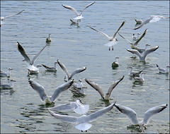 Seagull Flyers 01 (Katarina 2353) Tags: birds river fly seagull serbia danube donau srbija zemun katarinastefanovic katarina2353