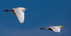 20160425-_74P2118.jpg (Lake Worth) Tags: bird nature birds animal animals florida outdoor wildlife wing feathers wetlands everglades waterbirds southflorida birdwatcher canonef500mmf4lisiiusm canoneos1dx