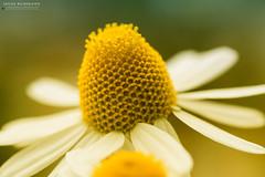Kamille (Wilde Bildereien) Tags: flower nature germany deutschland natur blume makro nordrheinwestfalen kamille chamomile kevelaer