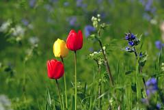 Spring flowers. Tulpen.  002 (1) (George Ino) Tags: red copyright holland netherlands yellow utrecht dof tulips bokeh ngc nederland depthoffield geel rood tulpen georgeino georgeinohotmailcom naturenatuurnatur