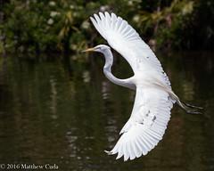 Great Egret in Flight (Matt Cuda - www.mattcuda.com) Tags: white bird heron flying inflight orlando greategret wading gatorland