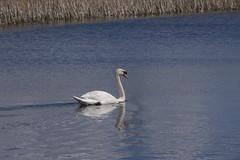 Mute Swan (1) (Mal.Durbin Photography) Tags: nature birds newport naturereserve newportwetlands maldurbin goldcliffnewport