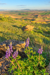 Lupin on Steptoe Butte (Matthew Singer) Tags: washington unitedstates wildflowers garfield palouse steptoebutte