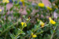 Fall from grace (Kumaravel) Tags: green yellow nikon dof bokeh kumar kumaravel d3100