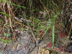 Polygala galioides (Mauricio Mercadante) Tags: polygala polygalaceae estaoecolgicadojardimbotnico taxonomy:binomial=polygalagalioides polygalagalioides