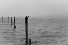 Gulls (elmarburke) Tags: sterreich seagull gull bregenz mwe bodensee lakeconstance