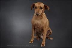 Sally (Marijke M2011) Tags: dog pet cute animal studio friend indoor hond terrier huisdier petportrait crossbreed podengo dogportrait studiolightning hondenportret