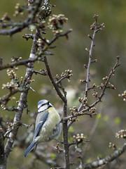 Mésange bleue *---- °-° (Titole) Tags: bluetit bird branch titole nicolefaton mésangebleue challengeyouwinner