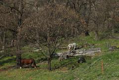 chevaux (bulbocode909) Tags: nature suisse vert arbres printemps valais chevaux