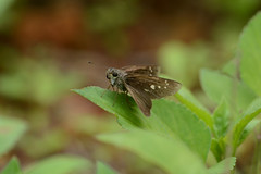 Formosan Swift (Gomen S) Tags: china hk nature animal forest butterfly insect island hongkong spring nikon asia afternoon wildlife sunny tropical 2016 70200mmf4 d7100