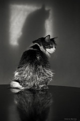 Shadow, reflection & a Cat (leporcia) Tags: shadow blackandwhite bw cats reflection blancoynegro animals cat feline chat kitty sombra gatos bn gato felino animales katze gatto katzen animalplanet hombre gatito obiwan obiwn chatsdomestics