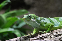 Lizard's Big Brother (finor) Tags: animal zoo sony alpha karlsruhe iguanidae brachylophus mirrorless a6000 sal70300g laea2 ilce6000 fijileguan