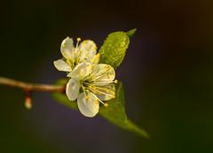 Blossom in the Bluebell Wood (Peter Quinn1) Tags: bluebells woodland garden blossom sheffield