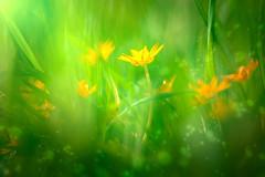 Yearning (Ans van de Sluis) Tags: plant flower macro floral botanical flora colours blossom bokeh pov botanic yearning ooij bokehlicious ansvandesluis