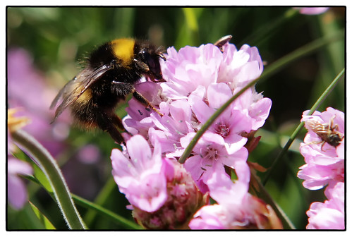Bee on Sea Pink (armeria maritima)