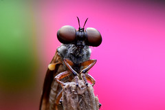 2015 compund eyes 4-1 (Pete King's Photography) Tags: compound eyes flies