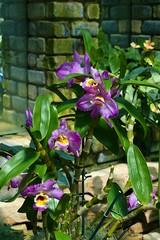 Panasonic FZ1000, Orchids, Botanical Gardens, Montral, 24 April 2016 (2) (proacguy1) Tags: orchids montral botanicalgardens panasonicfz1000 24april2016