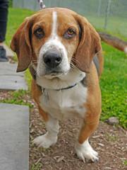 Buster_02 (AbbyB.) Tags: rescue dog pet beagle newjersey canine shelter adopt bassethound shelterpet petphotography easthanovernj mtpleasantanimalshelter