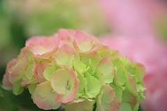 Turning Pink (lfeng1014) Tags: flower macro closeup dof bokeh depthoffield hydrangea macrophotography pinkhydrangea lifeng turningpink canon5dmarkiii 100mmf28lmacroisusm