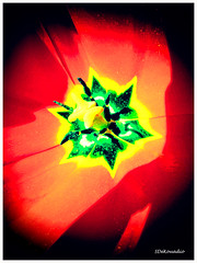 Tulip (2 - 6) | macro, painting (Stephenie DeKouadio) Tags: light shadow red flower color colour macro art beautiful canon painting photography spring colorful tulips image artistic tulip imagery macrophotography