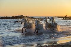 40081142 (wolfgangkaehler) Tags: sunset horse white france beach water french europe mediterranean european running backlit splash herd mediterraneansea backlighting eveninglight camargue southernfrance splashing galloping 2016 whitehorses camarguehorses