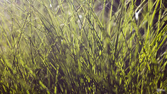 Leaves of Grass (BackEastPhoto) Tags: abstract green texture grass flare eveninglight helios russianlens helios44m458mmf2