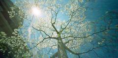 wppd_2016_dogwood_blooms (Judy M. Boyle) Tags: holga expiredfilm wppd worldpinholeday worldwidepinholephotographyday kodakportra160nc holgawpc unicolorc41 filmphotographyproject wppd2016
