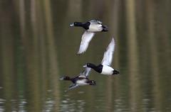 Tufties in flight (ftm599) Tags: wild lake bird nature birds flying duck wings nikon action wildlife ducks bif tuftedduck maleandfemale lowbarns durhamwildlifetrust