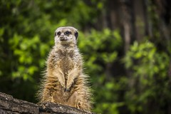 Guardian (samael_87) Tags: animals canon eos zoo tiere is meerkat frankfurt 7d stm efs erdmnnchen f456 55250mm