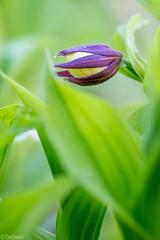 getting ready (Tschissl) Tags: flowers austria sterreich orchids pflanzen blumen location april niedersterreich orchideen