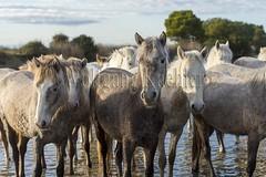 40080750 (wolfgangkaehler) Tags: horse france water french europe european wetlands marsh herd marshland wetland camargue southernfrance marshlands 2016 camarguehorses