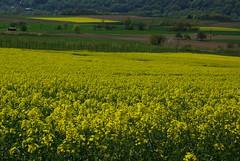 Rapsfelder (ute_hartmann) Tags: landwirtschaft feld raps rapsfeld lippoldsberg