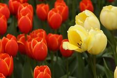 *** (pszcz9) Tags: flower closeup garden spring sony poland polska botanic a77 wiosna kwiat beautifulearth ogrdbotaniczny zblienie